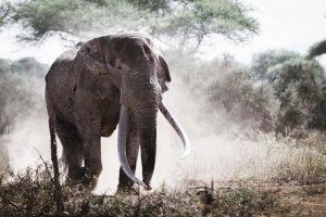 Bull elephant stampeding
