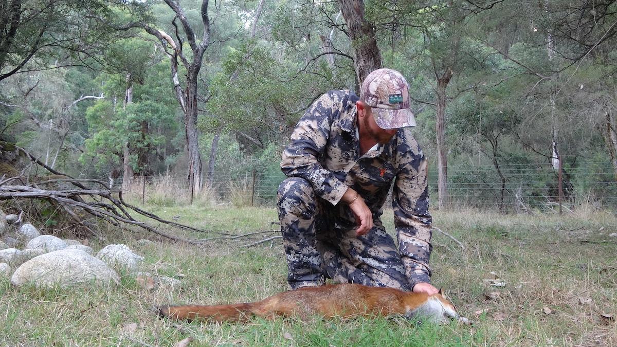 fox hunting in australia