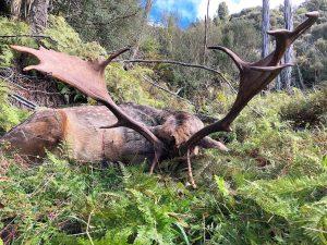 Big fallow buck